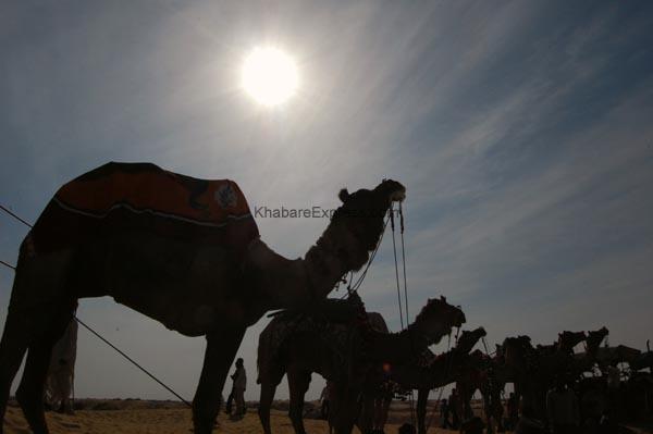 Camel Festival 2011 - Bikaner