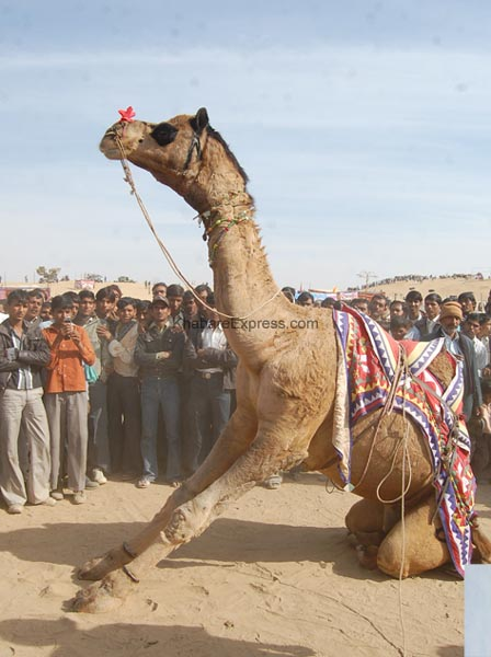 A Camel performing salute and dance before the  audience in Camel Festival 2011