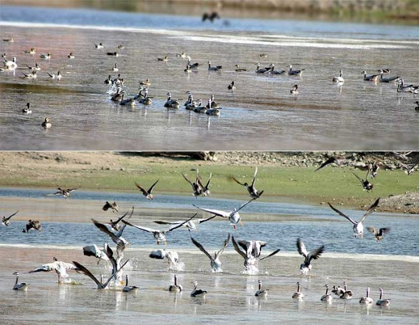 Migrated Birds Activity at Jhakol Ponds, Dungerpur