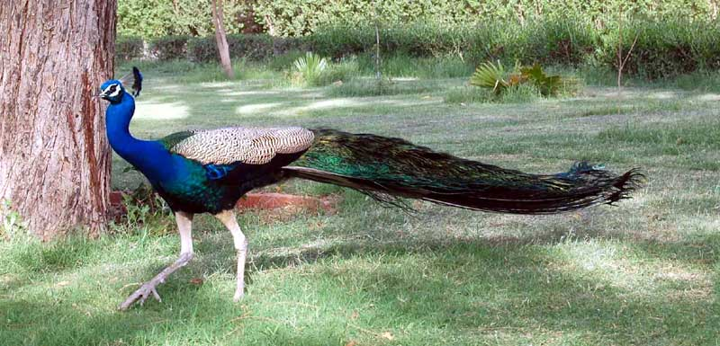 Now rarely seen Peacock pleased in yesterday Rain at Public Park, Bikaner